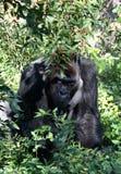 gorillasilverback royaltyfria foton