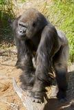 gorillasilverback Arkivfoto