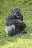 gorillasilverback royaltyfri foto