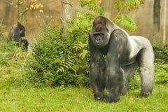 gorillasilverback Fotografering för Bildbyråer
