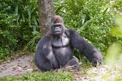 gorillasitting arkivbild