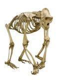 Gorillaskelett lokalisiert auf Weiß Lizenzfreie Stockfotografie