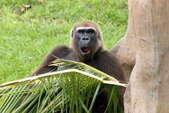 gorillastående Arkivbild