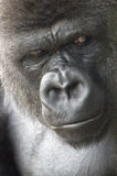 gorillastående arkivfoto