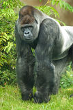 gorillaståendesilverback arkivfoton