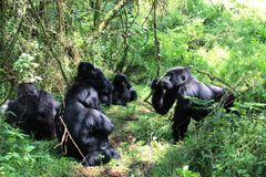 Gorillavergadering Stock Afbeelding