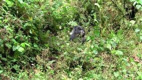 Gorillazitting in struiken het eten stock video