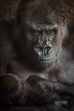 gorille à l'air fâché avec un bébé Images libres de droits