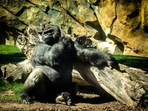 Gorille photo stock