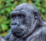 Gorille Photos stock