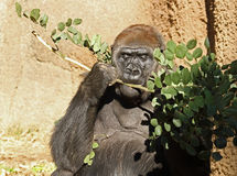 Gorille Photo libre de droits