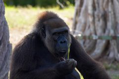 Gorille Photographie stock libre de droits