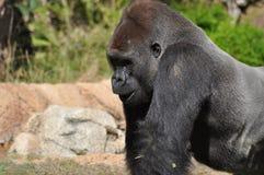 Gorille Photos libres de droits