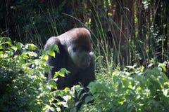 Gorille africain de dos d'argent photos libres de droits
