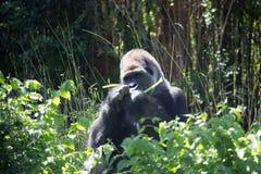 Gorille africain de dos d'argent images libres de droits