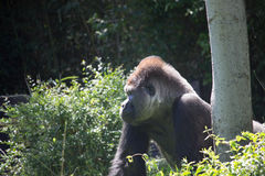 Gorille africain de dos d'argent photo stock