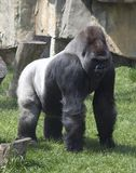 Gorille arrière d'argent Image libre de droits