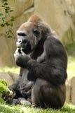 Gorille au déjeuner Photographie stock libre de droits