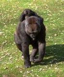 Gorille avec la chéri photos libres de droits