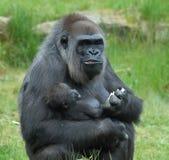 Gorille avec la chéri image stock