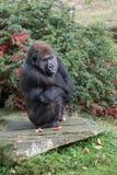 Gorille d'Angy à l'apenheul images libres de droits
