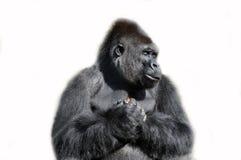 Gorille d'isolement dans le blanc Photos stock