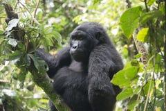 Gorille dans la forêt tropicale de l'Afrique photo stock