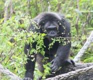 Gorille dans le zoo photo stock