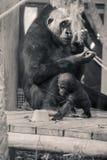 Gorille dans un zoo images stock