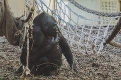 Gorille dans un zoo image libre de droits