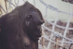 Gorille dans un zoo photo stock