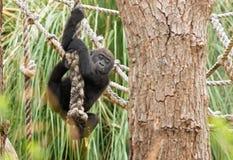 Gorille de bébé montant vers le bas une corde photo libre de droits