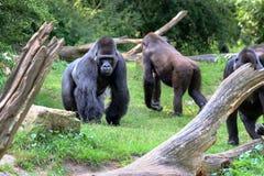 Gorille de gorille de gorille image libre de droits