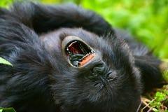 Gorille de montagne Photographie stock
