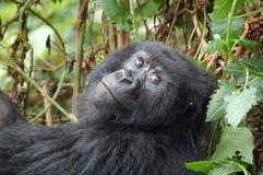 Gorille de montagne photographie stock libre de droits
