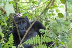 Gorille de montagne photo libre de droits