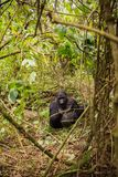 Gorille de montagne au Rwanda Photos stock