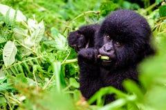 Gorille de montagne de bébé dans la broussaille Photo libre de droits