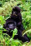 gorille de montagne d'Unité-mère et de bébé Image stock