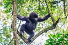 Gorille de montagne de bébé jouant dans un arbre images stock