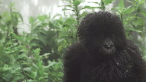 Gorille de montagne de bébé au-dessus de la maman, bourdonnant clips vidéos