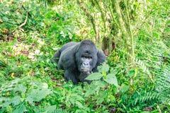 Gorille de montagne de repos de Silverback image libre de droits