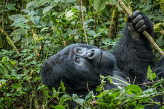 Gorille de montagne de Silverback recherchant photos stock