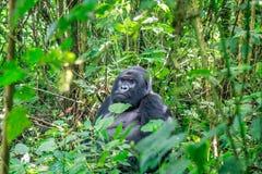 Gorille de montagne de Silverback se reposant dans des feuilles image libre de droits