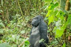 Gorille de montagne de Silverback se reposant dans la forêt images libres de droits