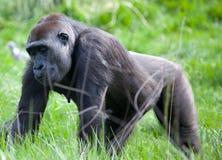 Gorille de montagne de terre en contre-bas Images libres de droits