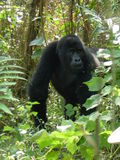 Gorille de montagne en Ouganda en Afrique Photo libre de droits