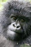 Gorille de montagne femelle Images libres de droits