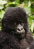 Gorille de montagne mâle de jeunes du groupe 13 Photo stock