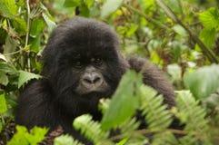 Gorille de montagne mâle de jeunes du groupe 13 Photographie stock libre de droits